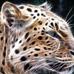 pleopard